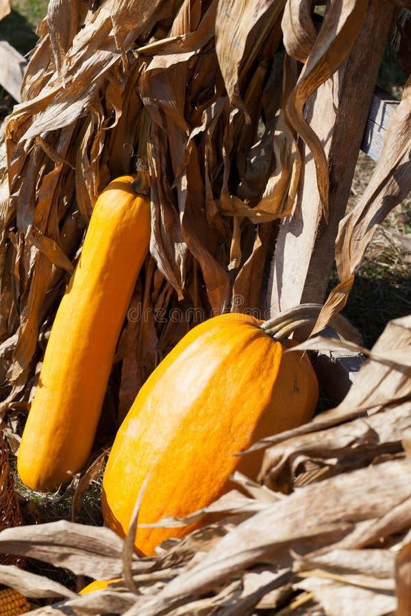 Sirops et tiges sèches de maïs photos stock
