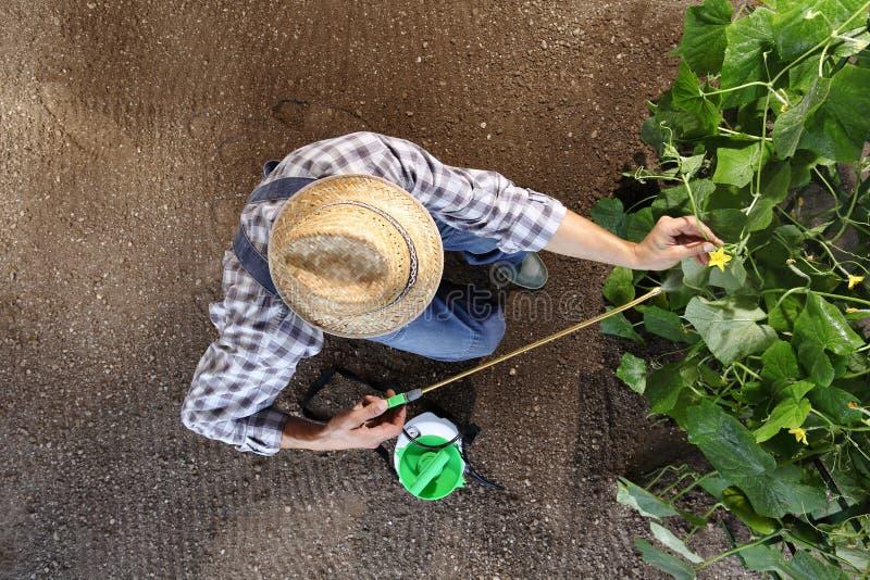 Sirva al granjero que trabaja en el huerto, esprayes del pesticida en plan imagen de archivo libre de regalías