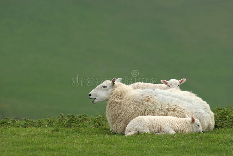Sirva de madre a las ovejas y a los corderos gemelos foto de archivo libre de regalías