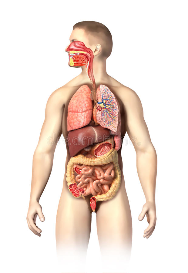 Sirva la anatomía por completo respiratoria y los sistemas digestivos cortados. libre illustration