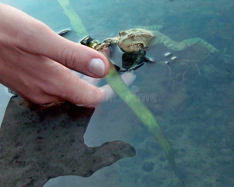 Sirva la mano que intenta tocar la rana verde en la charca fotos de archivo libres de regalías