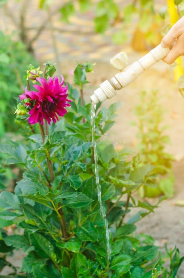 Sirva las flores de riego en centro de jardín en un día soleado cama de flor, patio trasero irrigación de la manguera fotos de archivo libres de regalías