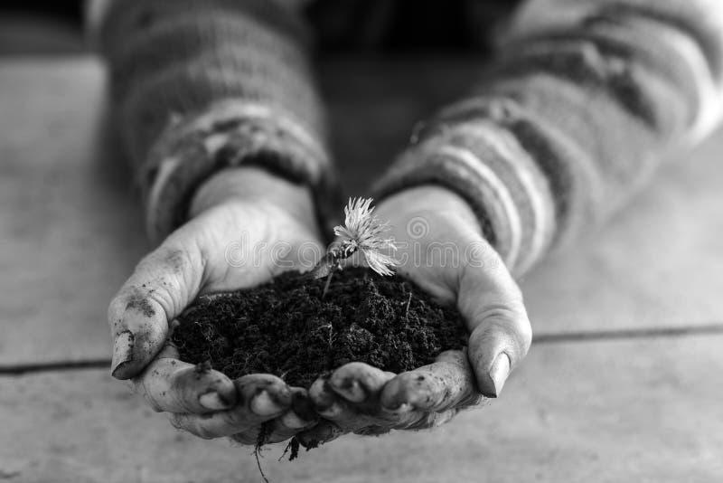 Sirva sostener una flor en el suelo ahuecado en sus manos fotografía de archivo