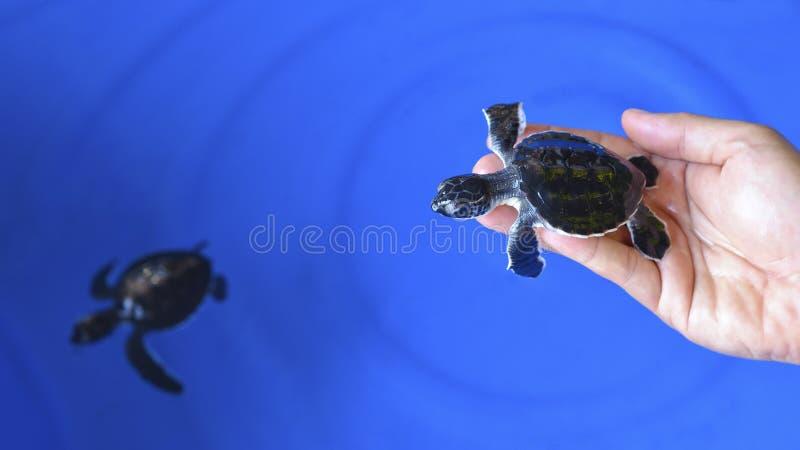 Sirva sostener una tortuga de mar verde oliva de Ridley del bebé recién nacido fotos de archivo