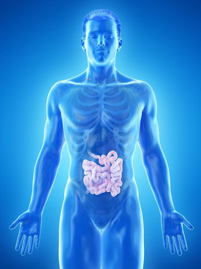 Sirve el intestino delgado ilustración del vector