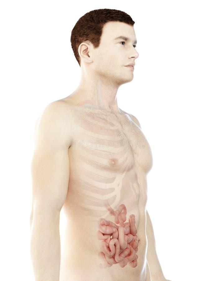 Sirve el intestino delgado stock de ilustración