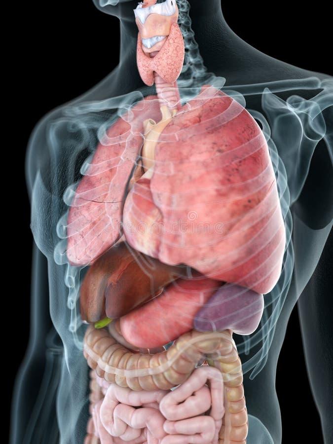 Sirve la anatomía del tórax stock de ilustración
