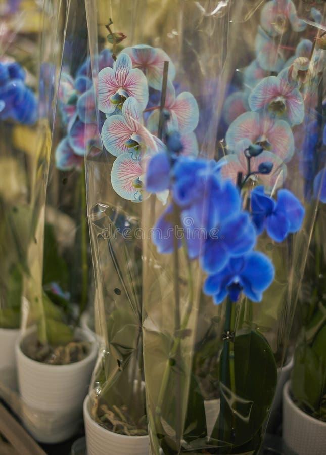 Sis orchidee Błękitne & różowy farbujący phalaenopsi zawijający w cellophahne fotografia royalty free