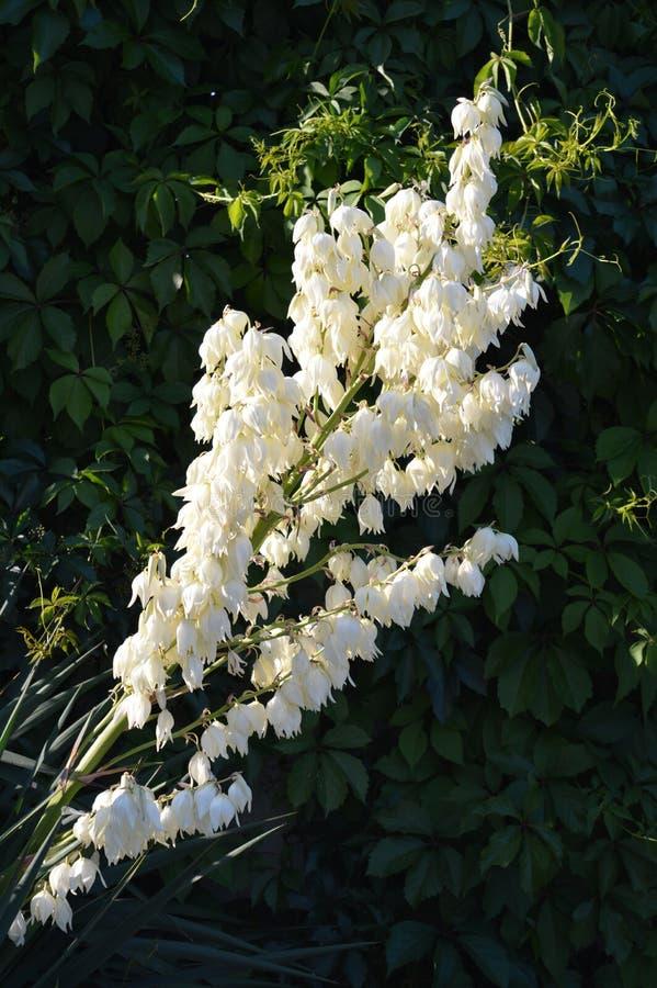 Sisalsblüte stockbilder