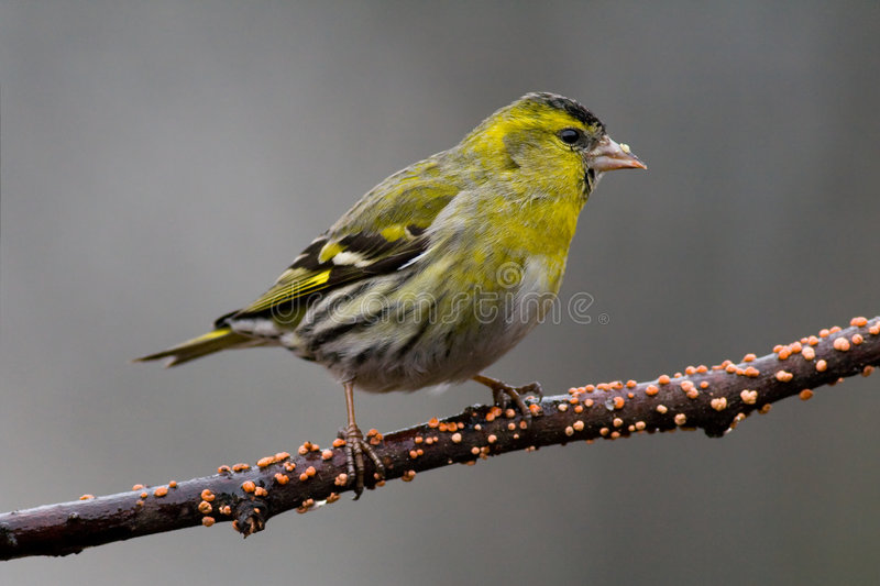 Download Siskin (Carduelis spinus)1 stock photo. Image of winged - 5061794