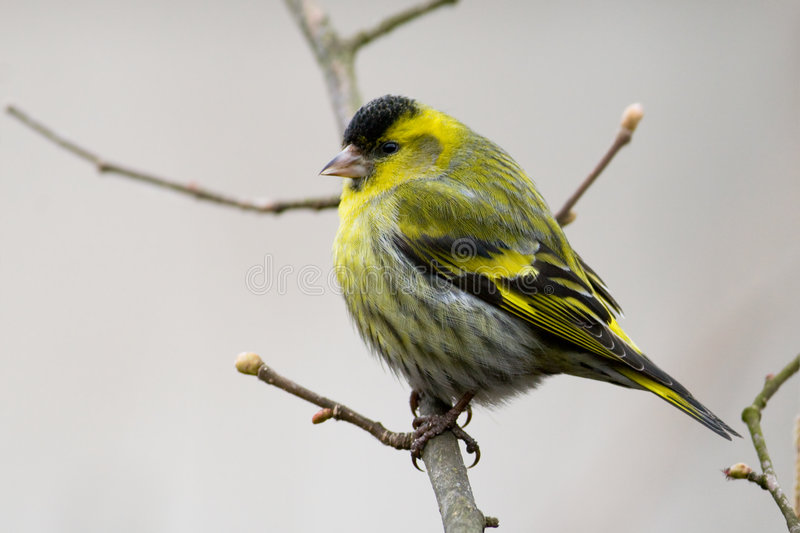 Siskin (Carduelis Spinus) stockfotos