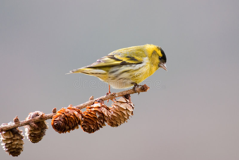 Download Siskin (male) Stock Images - Image: 9299514
