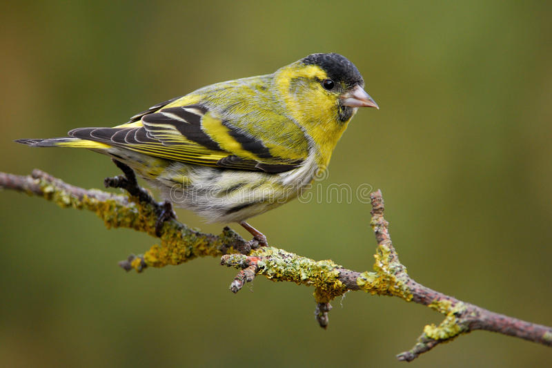 Siskin in spring plumage. Male Siskin in full spring courtship plumage stock photos
