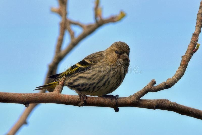Siskin on tree in St Johns in Canada. A siskin perching on a tree in St Johns in Newfoundland in Canada stock photo