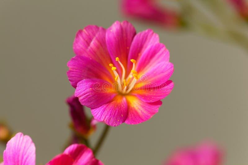 Siskiyou cotyledon Lewisia lewisia στοκ εικόνες