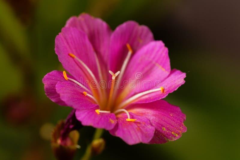 Siskiyou cotyledon Lewisia lewisia στοκ εικόνες με δικαίωμα ελεύθερης χρήσης