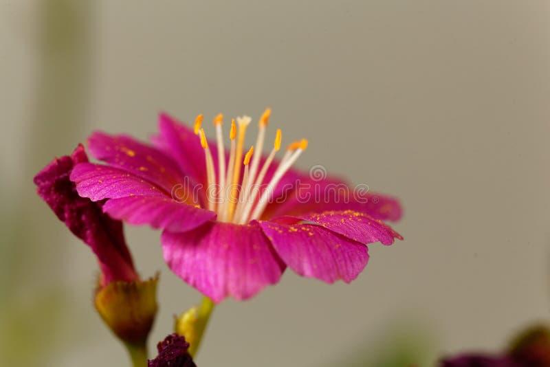 Siskiyou cotyledon Lewisia lewisia στοκ εικόνα με δικαίωμα ελεύθερης χρήσης