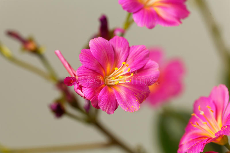 Siskiyou cotyledon Lewisia lewisia στοκ φωτογραφία με δικαίωμα ελεύθερης χρήσης