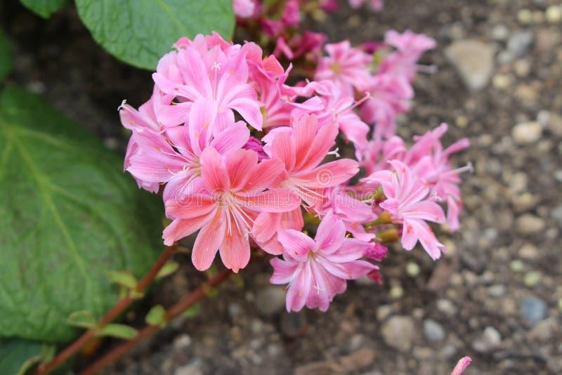 Siskiyou Lewisia λουλούδια - Cotyledon Lewisia στοκ φωτογραφία με δικαίωμα ελεύθερης χρήσης