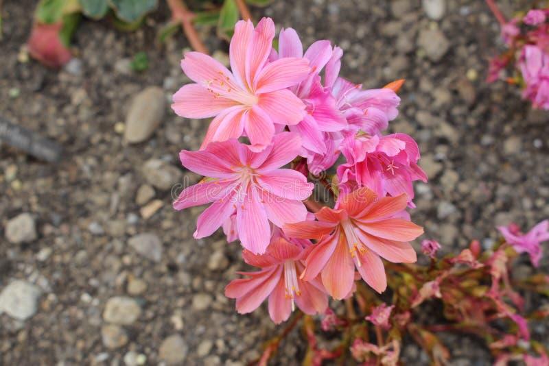Siskiyou Lewisia λουλούδια - Cotyledon Lewisia στοκ εικόνα με δικαίωμα ελεύθερης χρήσης