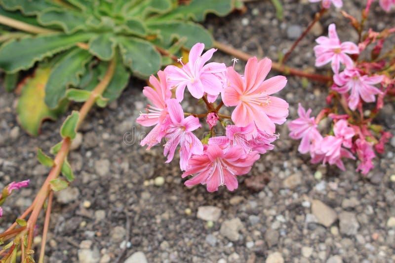 Siskiyou Lewisia λουλούδια - Cotyledon Lewisia στοκ εικόνες