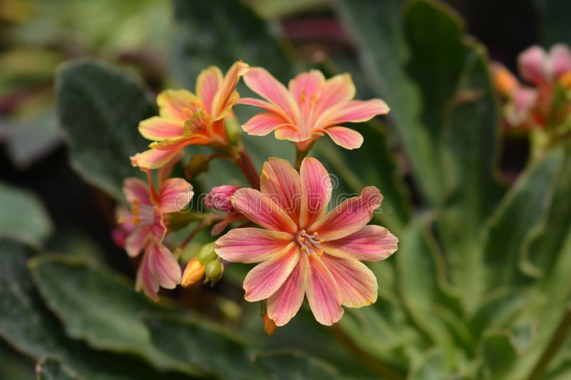 Siskiyou lewisia royalty free stock photos