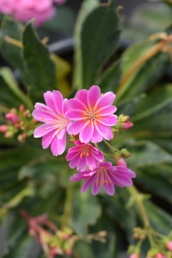 Siskiyou lewisia stock photos