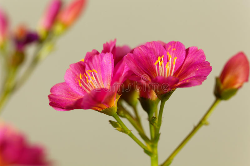 Siskiyou lewisia Lewisia cotyledon royalty free stock photos