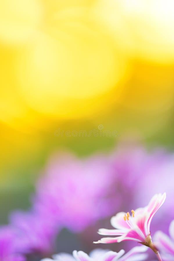 Siskiyou Lewisia Lewisia li?cienia kwiaty zdjęcia royalty free