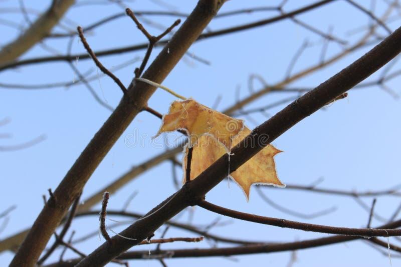 Sist fryst blad av lönnträdet arkivfoto