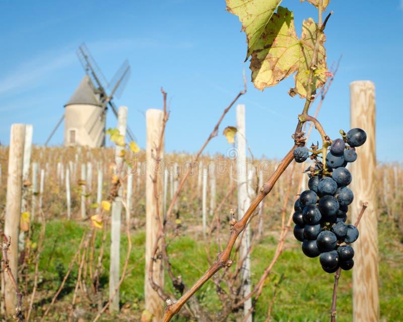 Sista grupp av druvor i Beaujolais, Frankrike arkivbilder