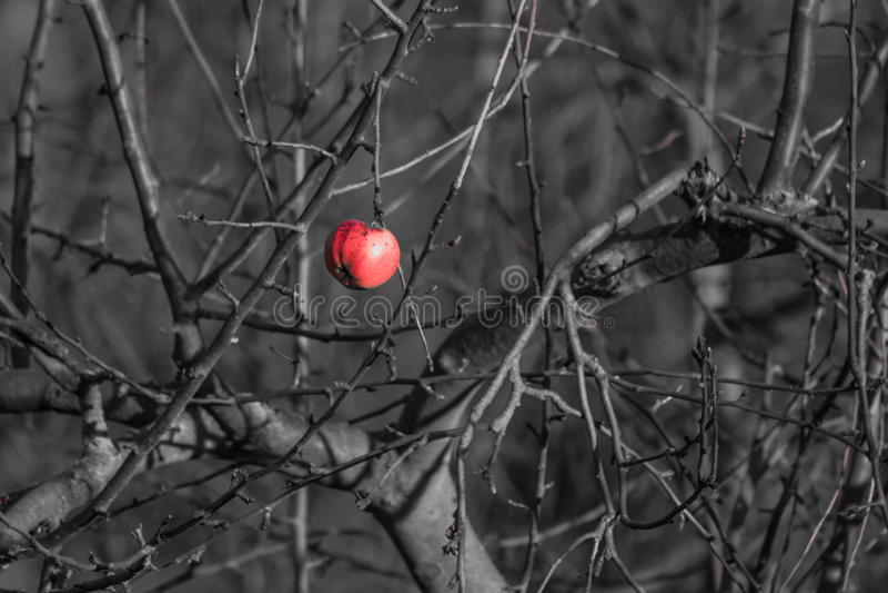 Sista ruttet äpple royaltyfri bild