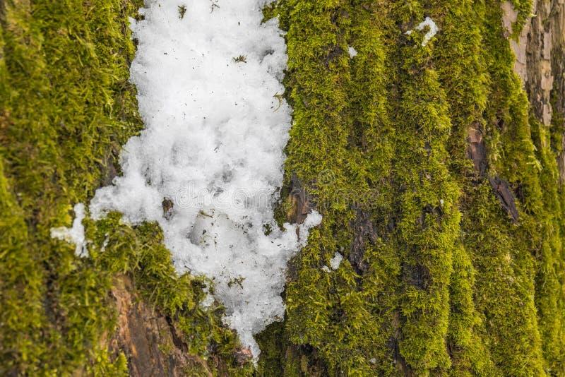 Sista snö på den gröna mossan arkivfoton