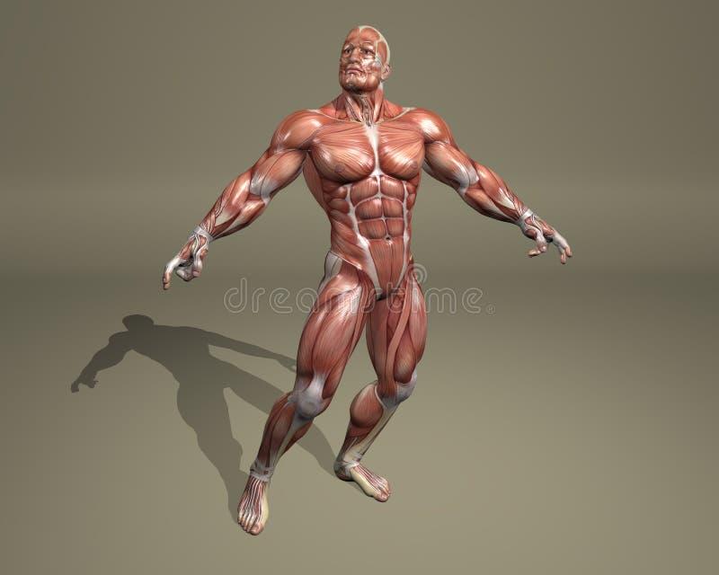 sistema 3d muscular ilustração do vetor