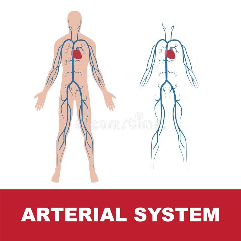 Sistema arterial ilustração stock