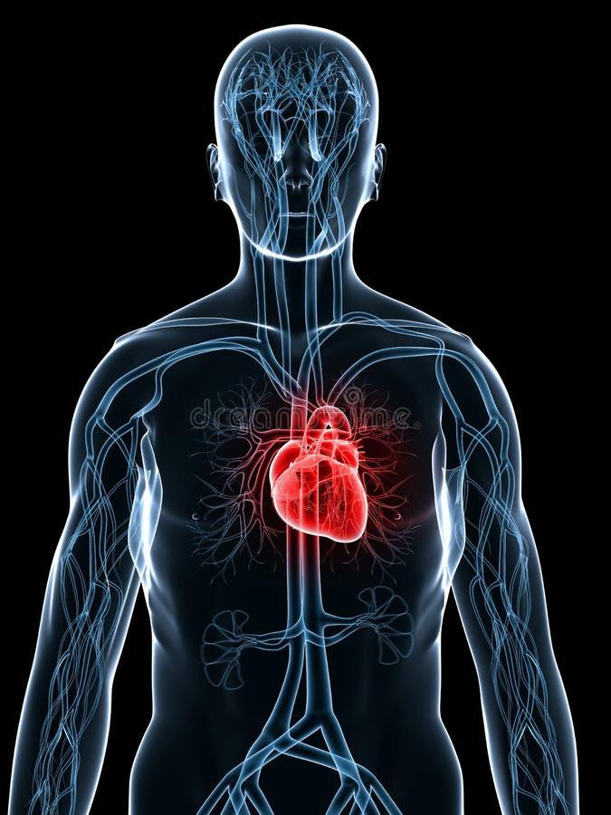 Sistema cardiovascular ilustración del vector