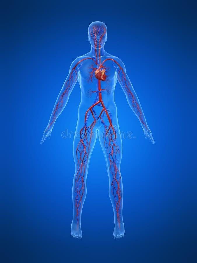Sistema cardiovascular ilustração stock