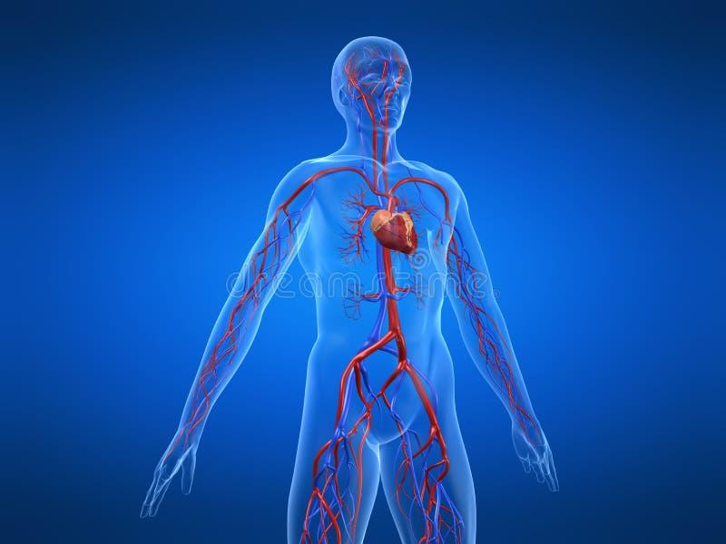 Sistema cardiovascular stock de ilustración. Ilustración de vena ...