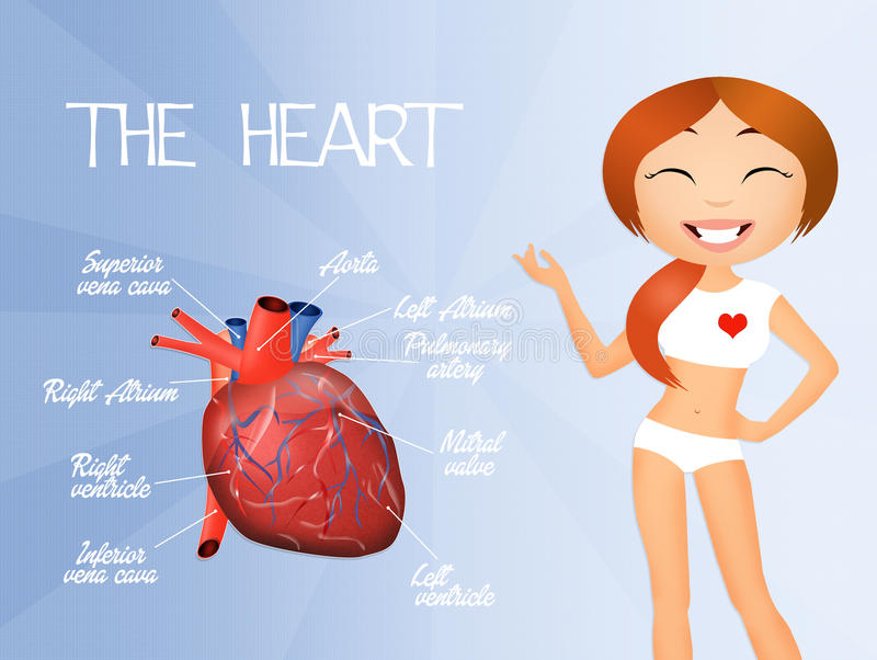 Sistema cardiovascular ilustração royalty free