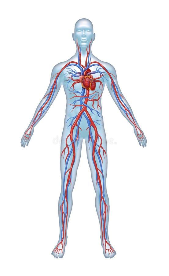 Sistema cardiovascular humano ilustração do vetor