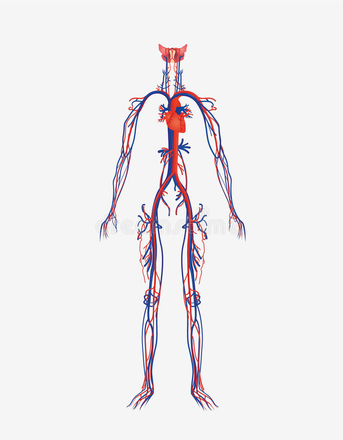 Sistema circolatorio illustrazione vettoriale