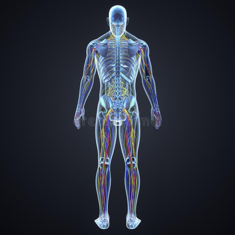 Sistema circolatorio e nervoso e linfonodi con la vista di scheletro del posteriore del corpo illustrazione di stock