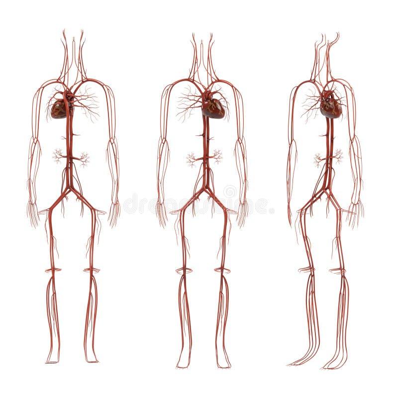 Sistema circolatorio umano illustrazione di stock