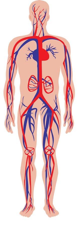 Sistema circulatório ilustração stock