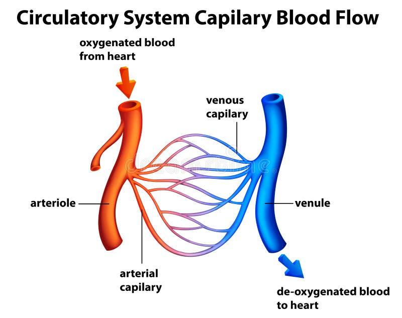 Sistema circulatório - circulação sanguínea de Capilary ilustração do vetor