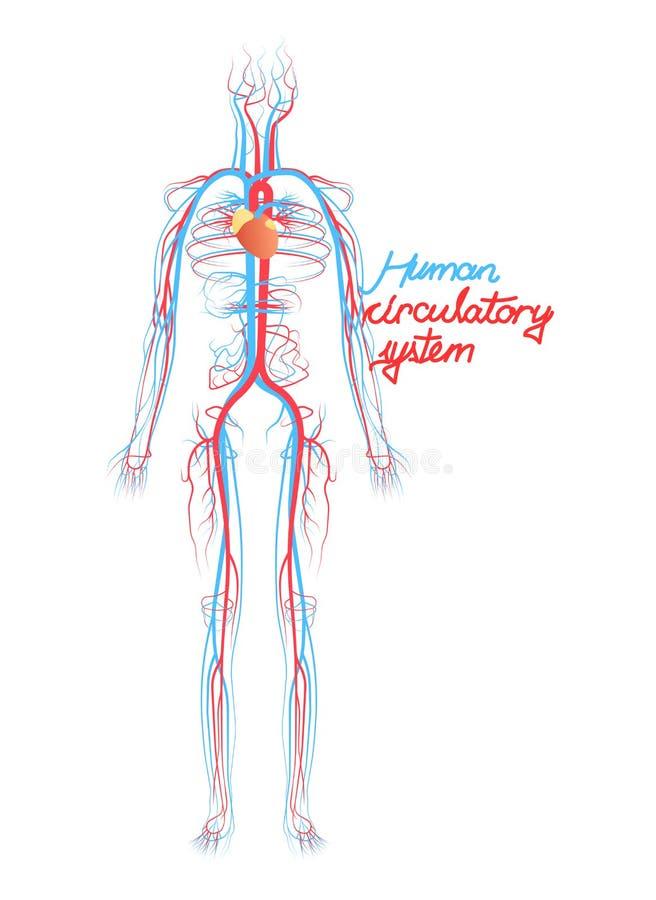 Sistema circulatório conceptual de sangue humano Esquema dos vasos sanguíneos ilustração royalty free