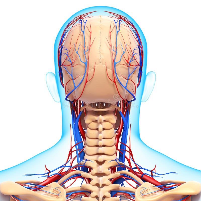 Sistema circulatório da cabeça humana fotos de stock
