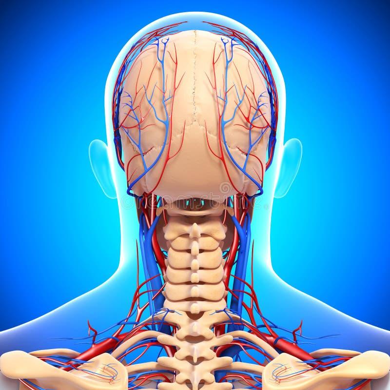 Sistema circulatório da cabeça masculina ilustração do vetor