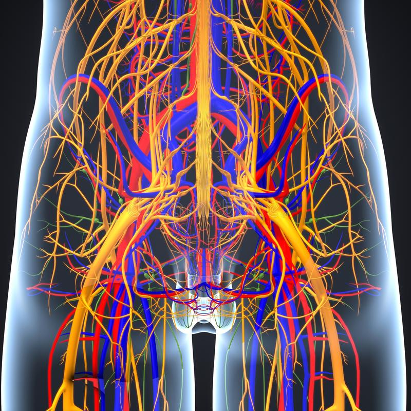 Sistema circulatório e nervoso connosco de linfa ilustração royalty free