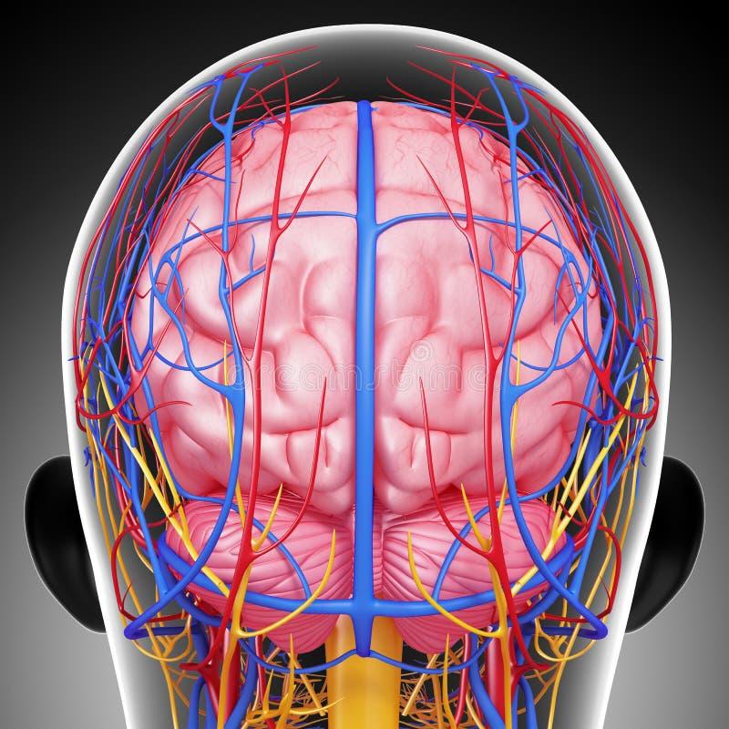 Sistema circulatório e nervoso da cabeça masculina ilustração stock
